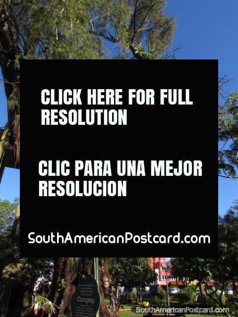 Curupay tree monument at Plaza de Armas in Encarnacion. (480x640px). Paraguay, South America.