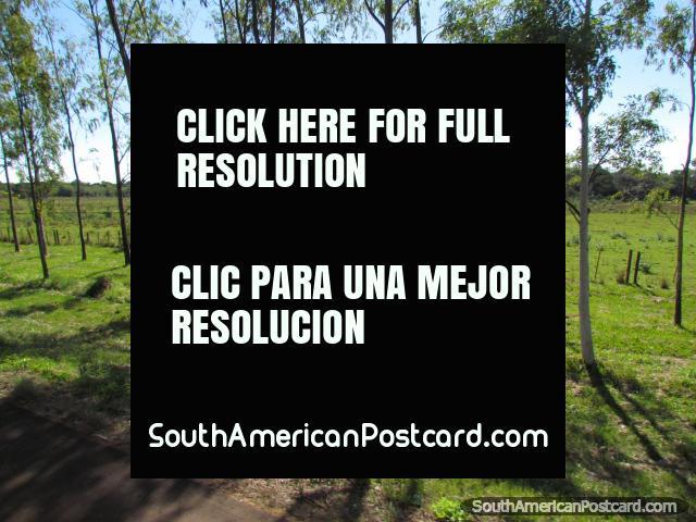 Árboles delgados hermosos y tierras verdes entre Coronel Bogado y el General Delgado. (640x480px). Paraguay, Sudamerica.