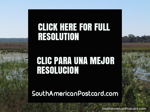 2 cigüeñas de Jabiru y un caimán en un pantano entre Coronel Bogado y el General Delgado. (640x480px). Paraguay, Sudamerica.