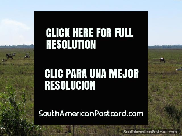 Os cavalos e o gado esfolam em um campo entre Coronel Bogado e o General Delgado. (640x480px). Paraguai, América do Sul.