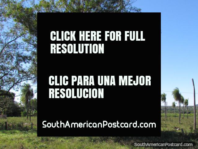 Palmeiras em uma propriedade de fazenda como vimos mais perto a Santa Rosa. (640x480px). Paraguai, América do Sul.