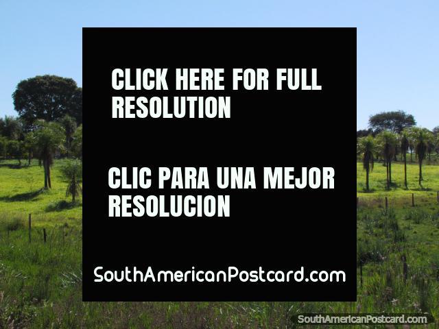 Beautiful farmland and properties with palm trees between Santa Rosa and San Ignacio. (640x480px). Paraguay, South America.