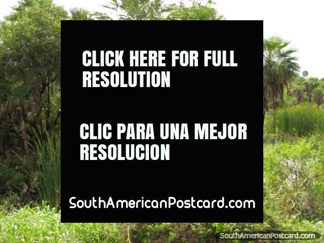 View of trees, reeds and wetland in the Gran Chaco. (640x480px). Paraguay, South America.