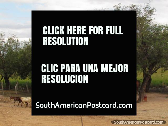 A pair of horses, goats and a cart at a property in the Gran Chaco. (640x480px). Paraguay, South America.