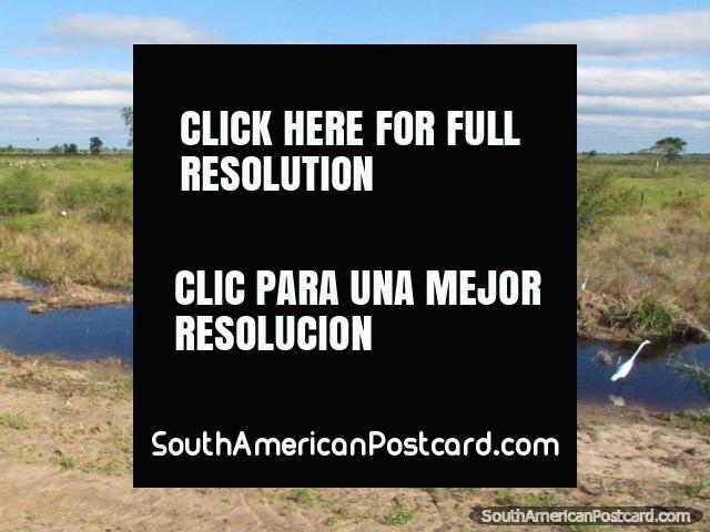 You will see many white Storks while traveling through the Gran Chaco. (640x480px). Paraguay, South America.