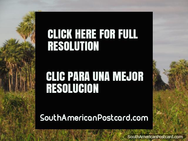 Cigüeñas de Jabiru y palmeras en Gran Chaco. (640x480px). Paraguay, Sudamerica.