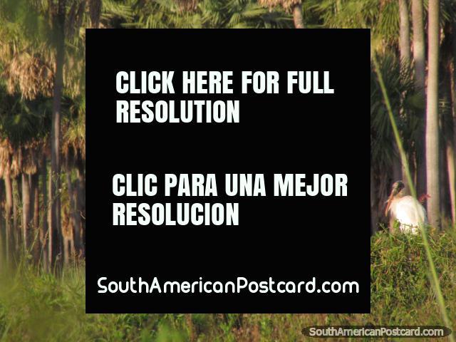 Uma Cegonha Jabiru maciça com um grupo de mais jovens perto de Mondelindo, Gran Chaco. (640x480px). Paraguai, América do Sul.