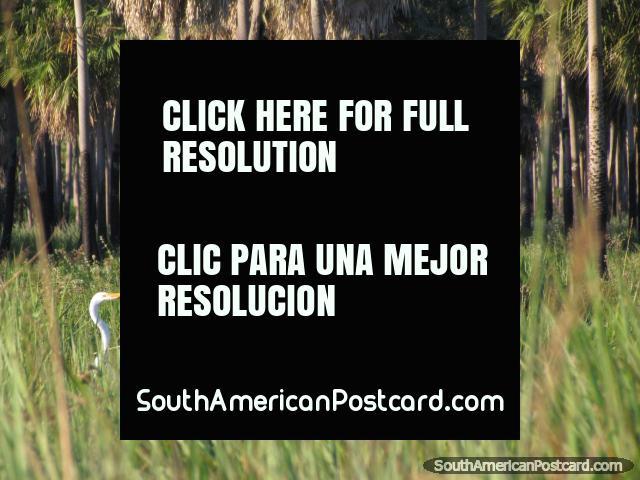 Cigüeñas blancas en los pantanos cubiertos de hierba cerca de Mondelindo en Gran Chaco. (640x480px). Paraguay, Sudamerica.