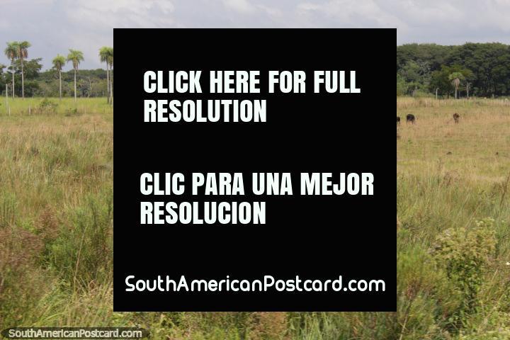 As palmeiras são uma caracterïstica da paisagem entre Oviedo e Villarrica. (720x480px). Paraguai, América do Sul.