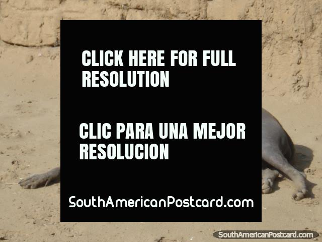 Um cão sem cabelo peruano. (640x480px). Peru, América do Sul.