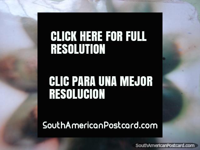 San Pedro cactus flower. (640x480px). Peru, South America.