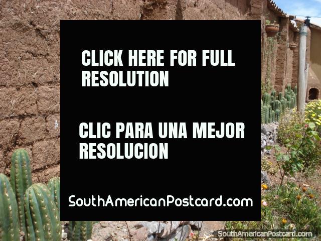 A row of San Pedro cactus growing. Cusco. (640x480px). Peru, South America.