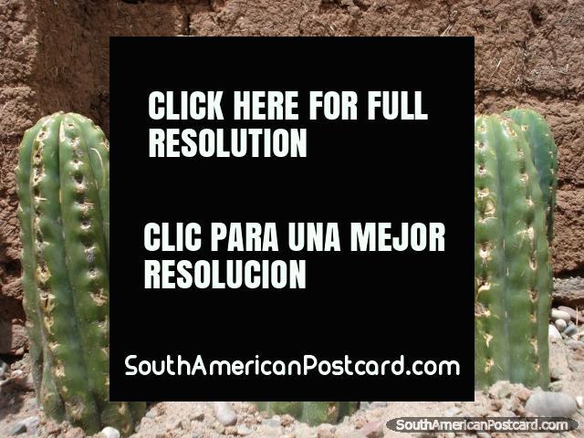San Pedro cactus growing. Cusco. (640x480px). Peru, South America.