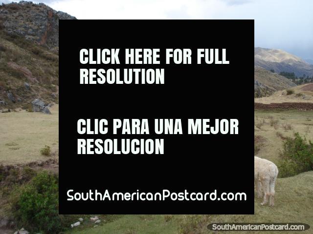 An alpaca looks over a valley high in the Cusco hills. (640x480px). Peru, South America.