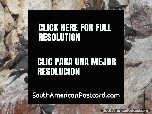 Zarcillo Inca Tern, Islas Ballestas.  (640x480px). Peru, South America.