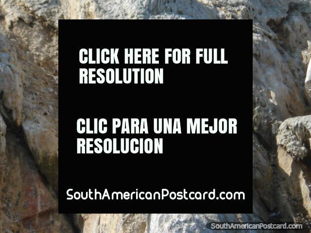 Piquero Peruano Peruvian Booby, Islas Ballestas.  (640x480px). Peru, South America.