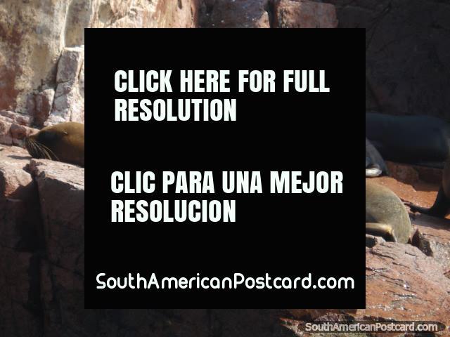 A group of seals sunbathing on rocks at Islas Ballestas in Pisco. (640x480px). Peru, South America.