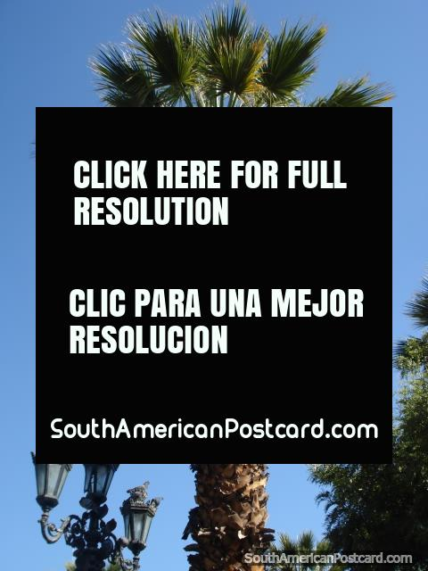 Palm trees in Arequipa. (480x640px). Peru, South America.