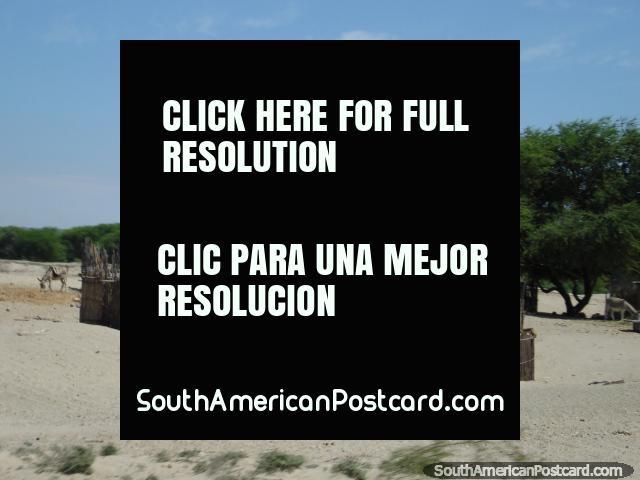 La casa hizo de palos y paja en el desierto del norte al sur de Piura. (640x480px). Perú, Sudamerica.