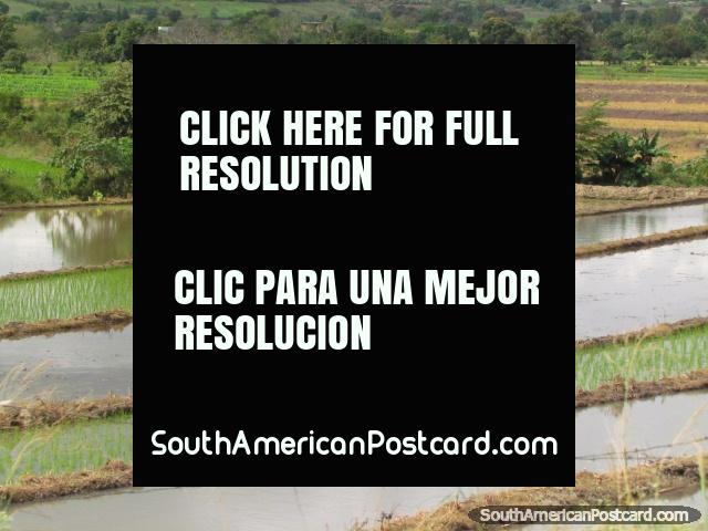 O homem trabalha nos campos de arroz molhados em Jaén. (640x480px). Peru, América do Sul.