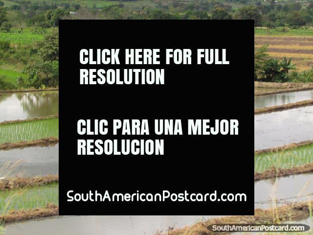 Man works in the wet rice fields in Jaen. (640x480px). Peru, South America.
