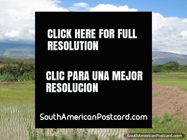 Fazendas molhadas de arroz que cresce em volta de Jaén e Bagua Grande. (640x480px). Peru, América do Sul.