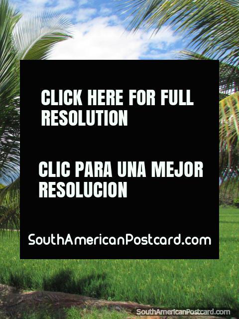Folhas de palmeira e campos de arroz, beleza verde em volta de Bagua Grande. (480x640px). Peru, América do Sul.
