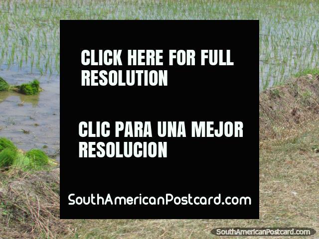 Pessoa que escolhe arroz de um arroz com casca perto de Bagua Grande. (640x480px). Peru, América do Sul.