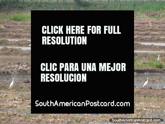 Muitos talos brancos aparecem em um arroz com casca de arroz perto de Bagua Grande. (640x480px). Peru, América do Sul.