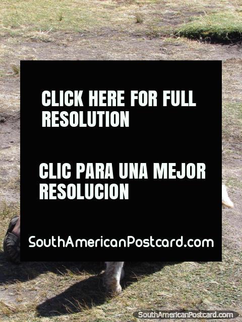 Niña campesina local con cordero en Cumbemayo, Cajamarca. (480x640px). Perú, Sudamerica.