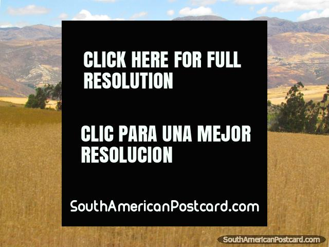Wheat fields and hills near San Marcos between Cajamarca and Cajabamba. (640x480px). Peru, South America.