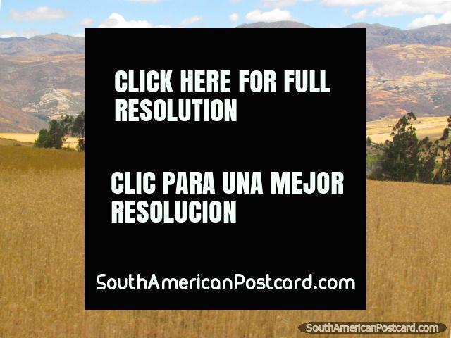 Wheat fields and hills near San Marcos between Cajamarca and Cajabamba. (640x480px). Peru, South America.