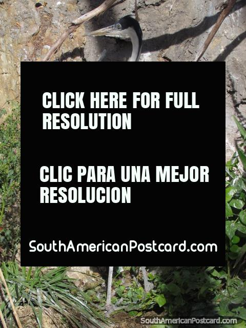 Grey and white stalk at Huancayo Zoo. (480x640px). Peru, South America.