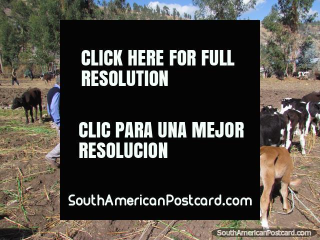 Vacas jovens em mercados de gado de Andahuaylas. (640x480px). Peru, América do Sul.