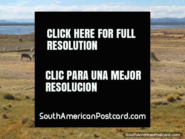 Donkeys, sheep and hay near Lake Titicaca near Zepita. (640x480px). Peru, South America.