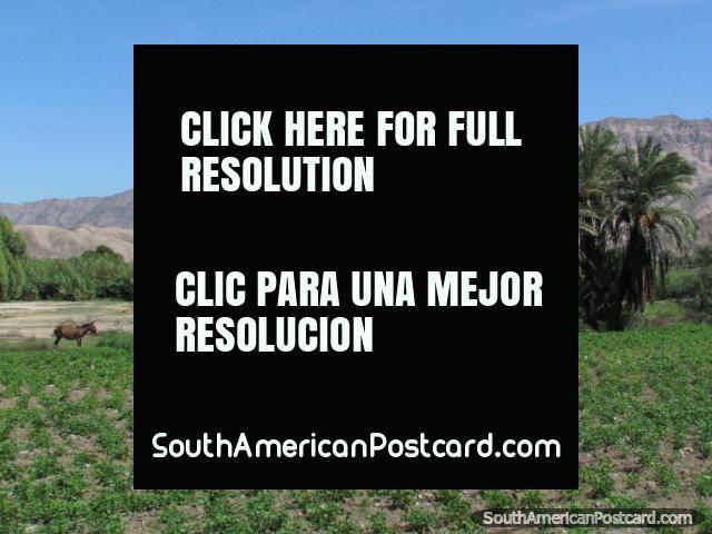 Horse, crops, palms and terrain south of Palpa. (640x480px). Peru, South America.