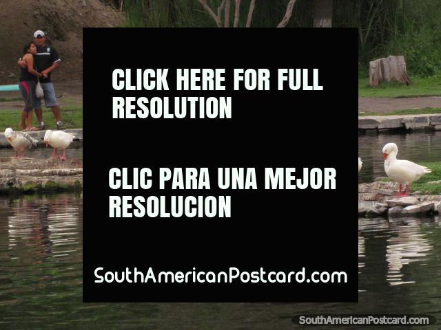 Gansos blancos en la laguna en parque Vivero Forestal en Chimbote. (640x480px). Perú, Sudamerica.