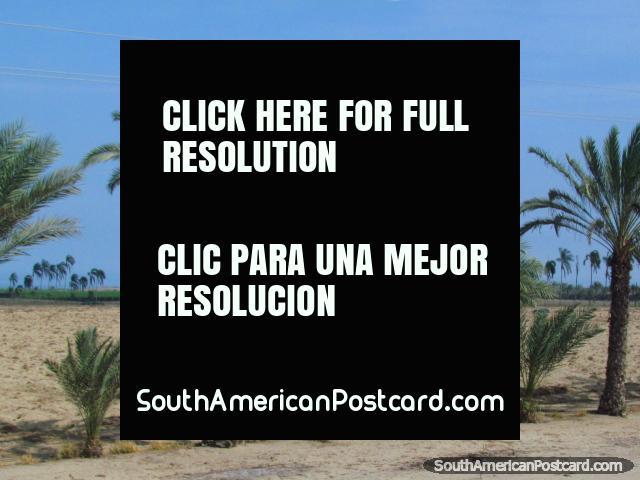 Palm trees near the coast south of Trujillo. (640x480px). Peru, South America.