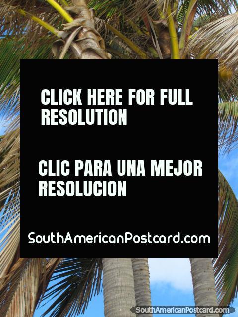 Cocos amarelos em uma palmeira em praia de Mancora. (480x640px). Peru, América do Sul.