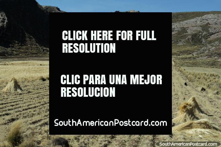 Heno se reunieron en montones de los pastos al oeste de Desaguadero. (720x480px). Perú, Sudamerica.