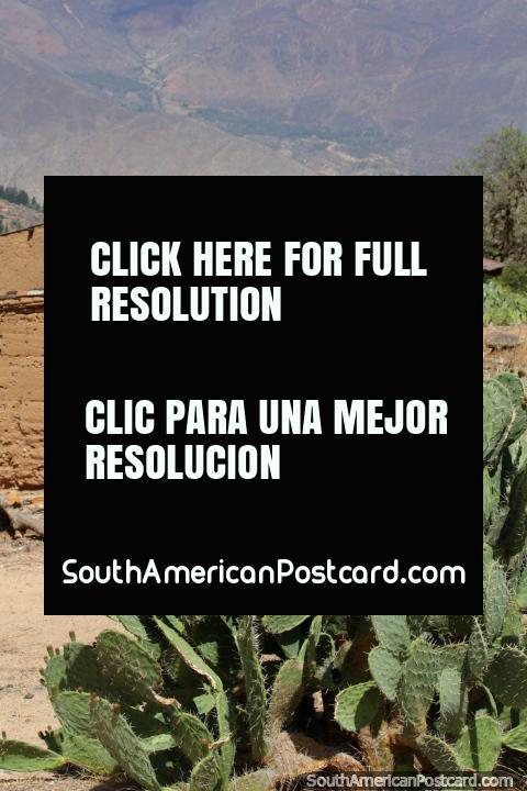 Cactus and a mud-brick building at Kotosh, Huanuco. (480x720px). Peru, South America.