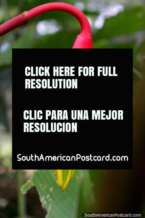 Planta exótica roja, verde y amarillo que se encuentra en el Parque Nacional de Tingo María. (480x720px). Peru, Sudamerica.