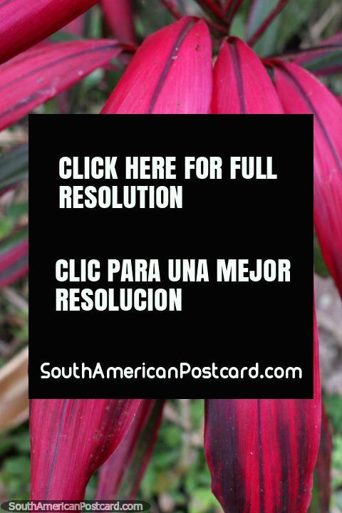 Purple pink leaves like ferns, exotic plants at Tingo Maria National Park. (480x720px). Peru, South America.