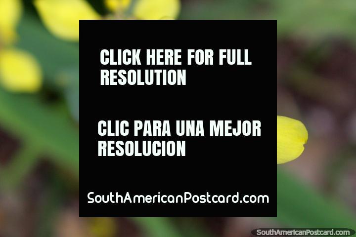 Flor amarilla exótica con los puntos marrones en el Parque Nacional de Tingo María. (720x480px). Peru, Sudamerica.