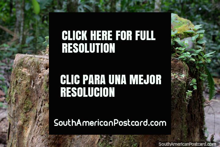 Un tocón de árbol con la vida del bosque que crece en él, el Parque Nacional de Tingo María. (720x480px). Peru, Sudamerica.
