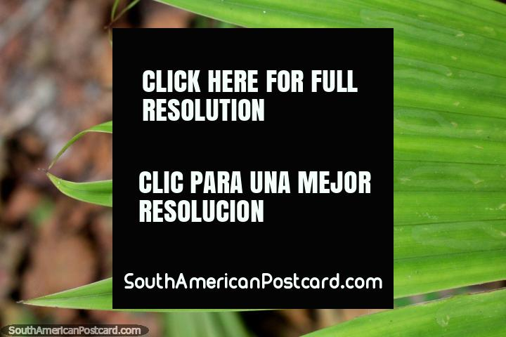Hoja grande con muchos dedos, plantas exóticas en el Parque Nacional de Tingo María. (720x480px). Perú, Sudamerica.