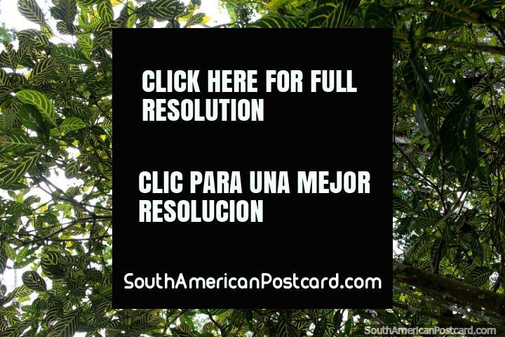 Modelos de verde, folhas com faixas em parque nacional Tingo Maria. (720x480px). Peru, América do Sul.