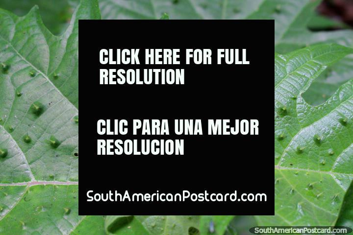 Folhas com borbulhas, flora interessante e fauna em parque nacional Tingo Maria. (720x480px). Peru, América do Sul.