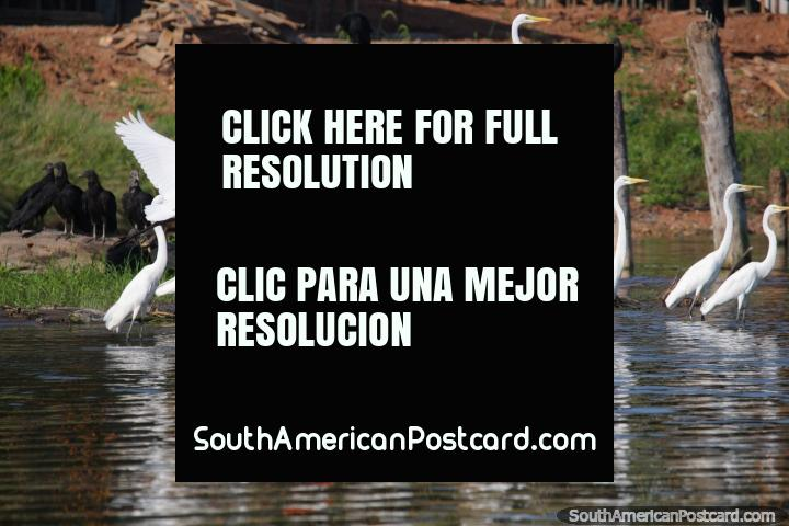 A group of white storks at Lake Yarinacocha in Pucallpa. (720x480px). Peru, South America.