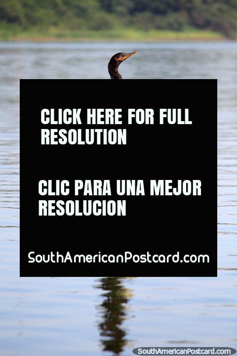 Bird sits on a wooden post in Lake Yarinacocha, Pucallpa. (480x720px). Peru, South America.